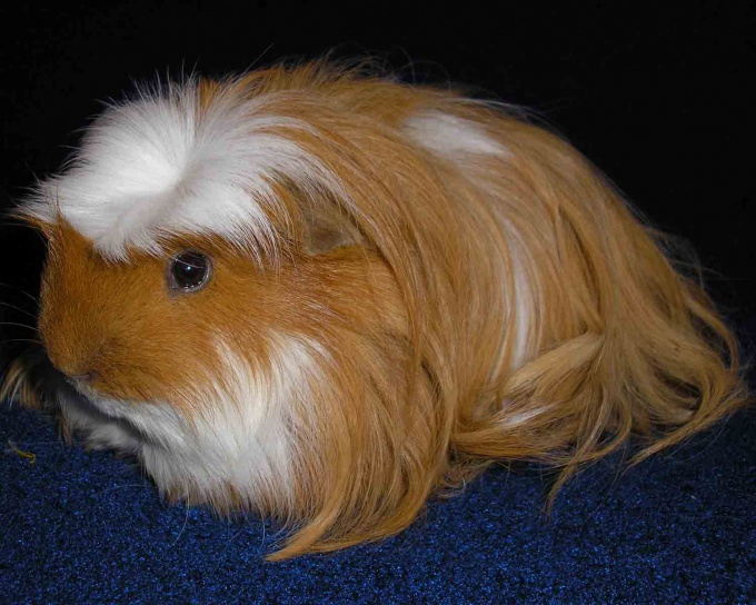 How to cut nails in the Guinea pig