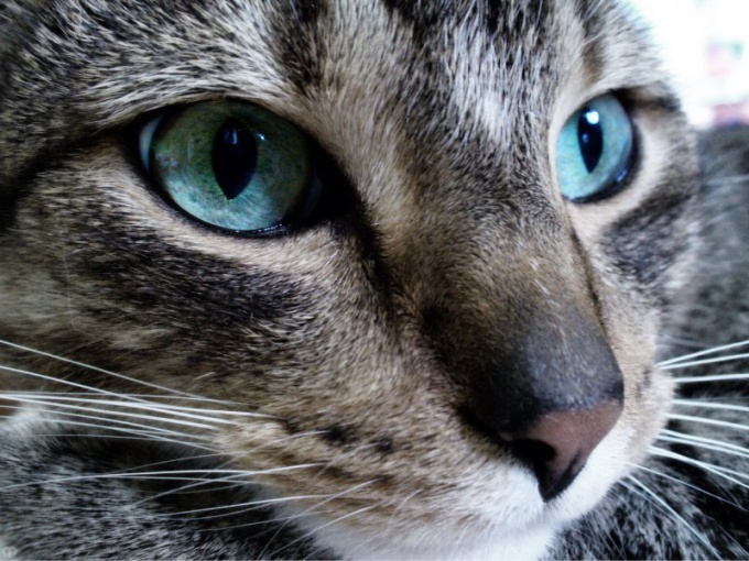 How to treat ringworm in the cat