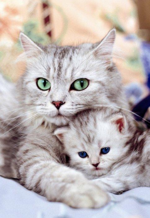 Беременность кошки длится 9 недель