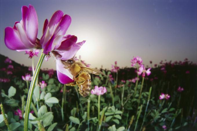 Пчелы - умные и полезные насекомые, за которыми интересно наблюдать