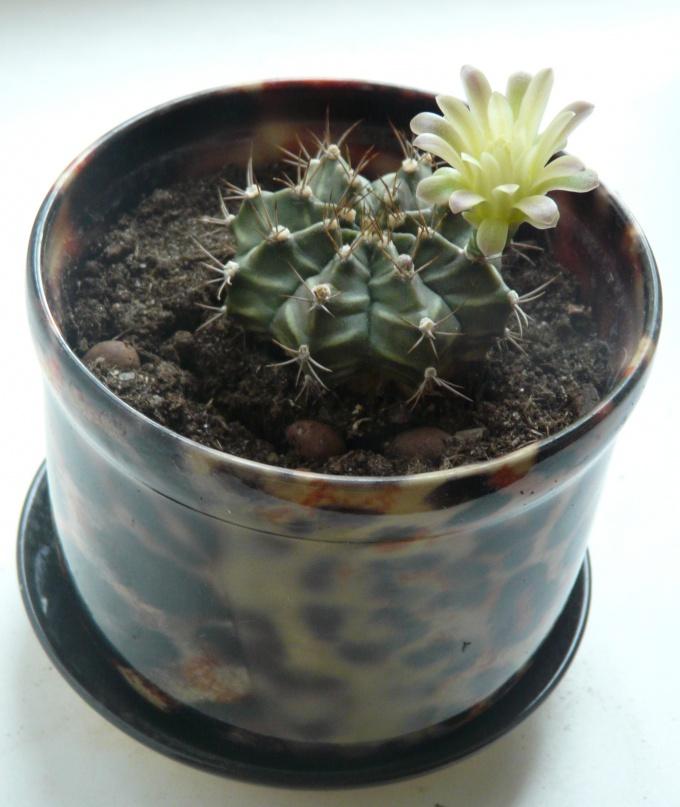 Как принудить кактусы цвести