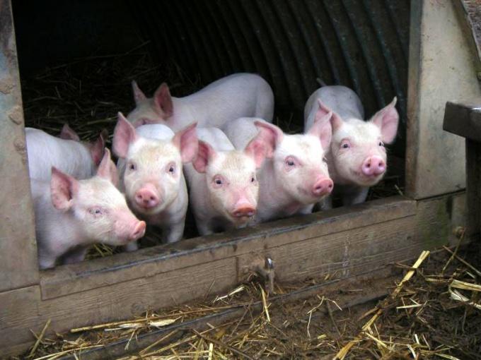 Как построить сарай для свиней
