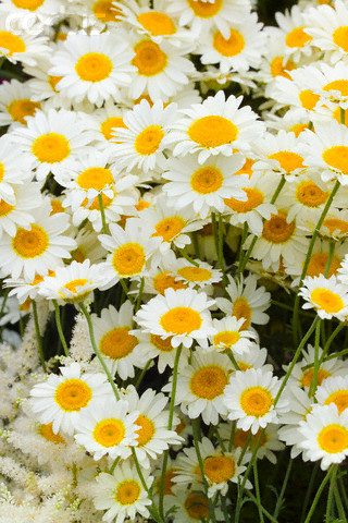 How to drink chamomile