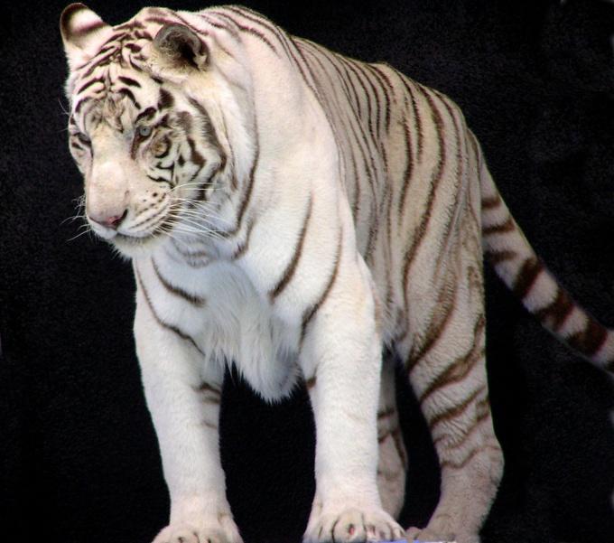 Люди, рожденные в год того или иного животного, во многом обладают качествами, ему присущими.