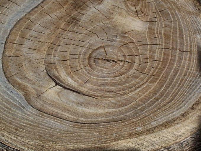 Как определить возраст дерева