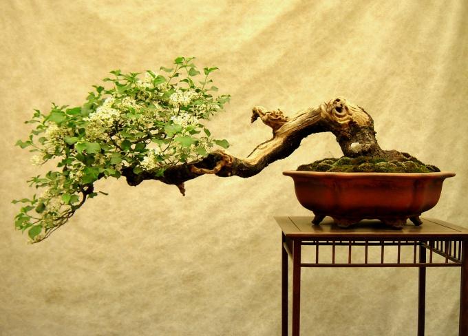 Мох украшает грунт дерева бонсай