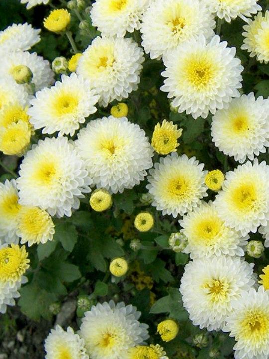 Как укоренить хризантемы