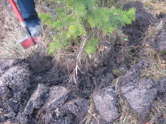 How to transplant a pine tree