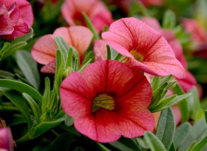 Как вырастить семена петунии в домашних условиях 97