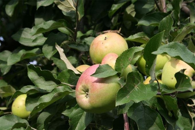 Прививайте плодовые саженцы.