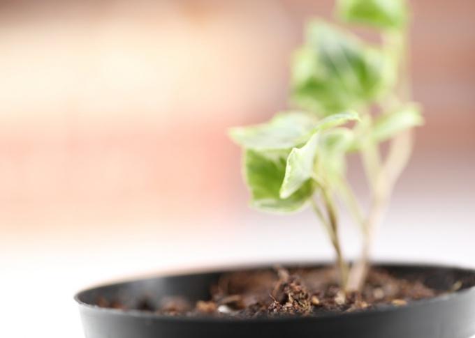 Зимующее растение крайне чувствительно к неправильному уходу