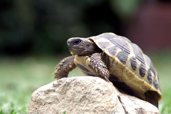 куда пристроить домашнюю черепаху