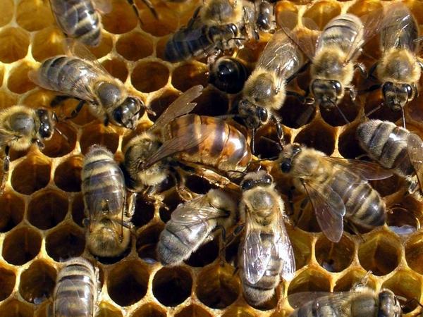 как содержать пчёл