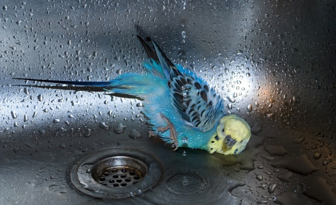 Как помыть попугая
