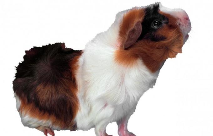 How to name a Guinea pig boy