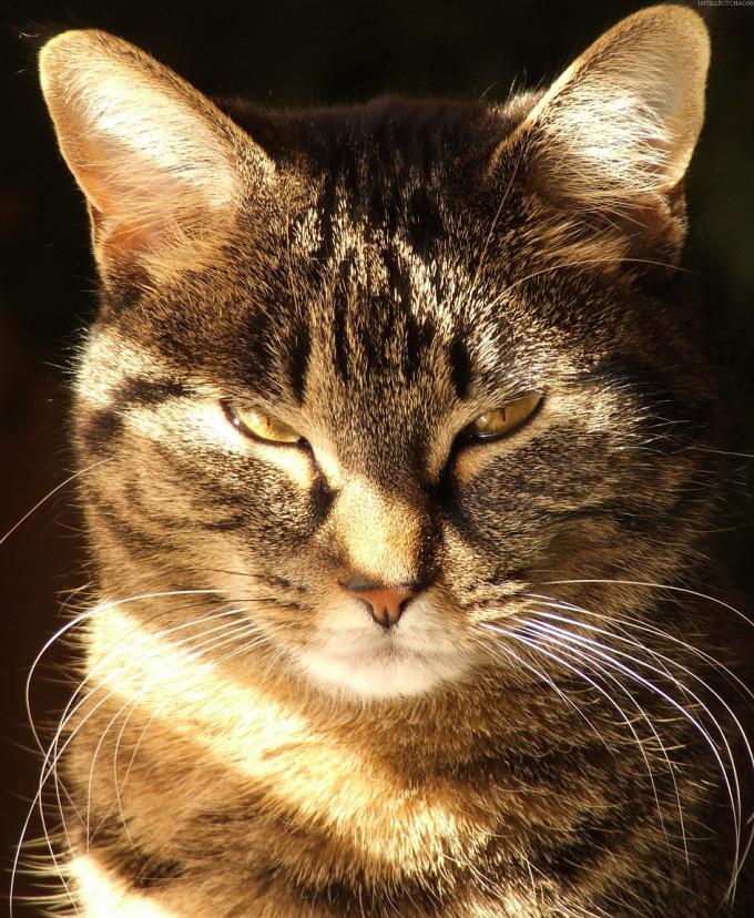как колоть наклофен котёнку?