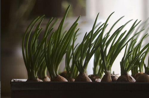 Зеленый лук - кладезь витаминов и минералов.