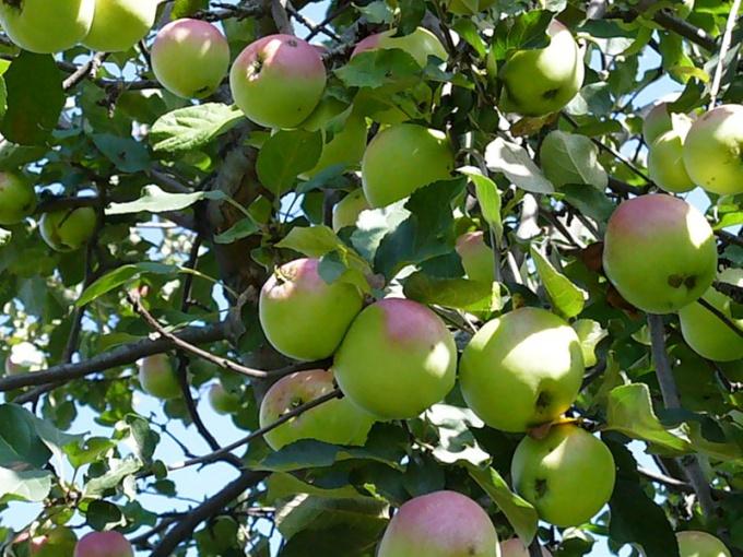 Првивайте яблони и груши на садовом участке.