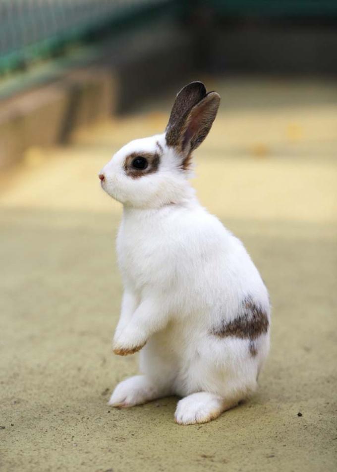 Как отличить самку кролика