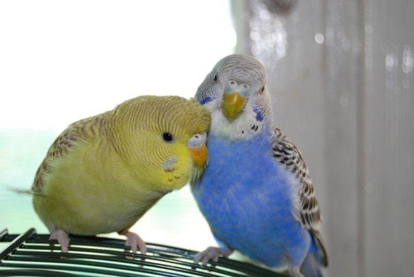 как определить попугая где мальчик и где девочка