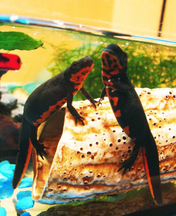 аквариумные рыбки тритон