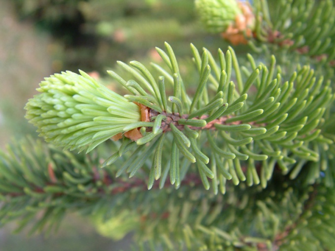 How to transplant spruce