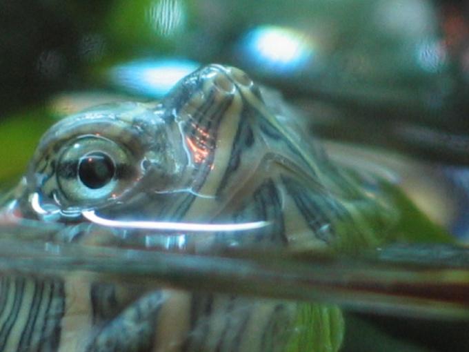 Как узнать пол красноухой черепахи