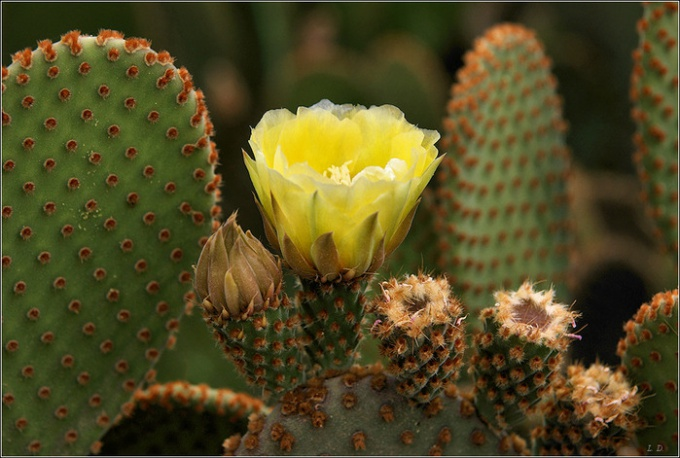 Blooming cactus - the result of careful care.