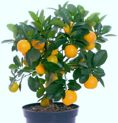 Как вырастить апельсин из косточки