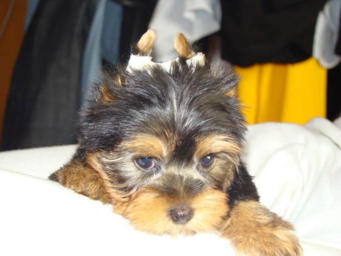One of the ways otkleivanie ears Yorkshire Terrier.
