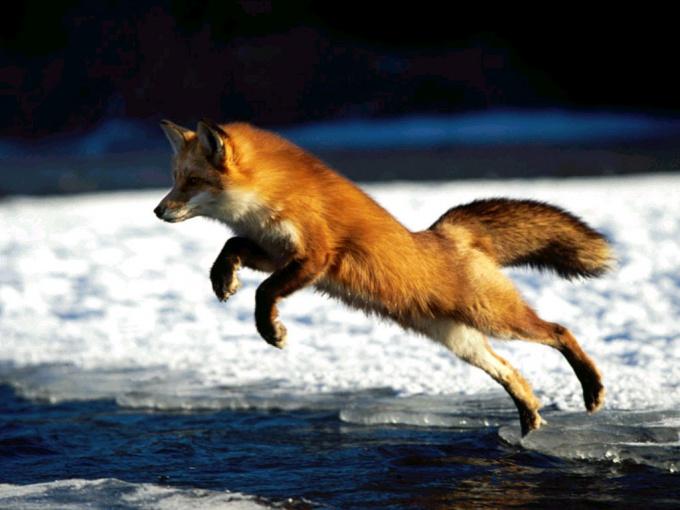 Как ставить ловушки на лису