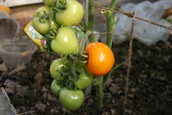 Как подвязывать помидоры в теплицах