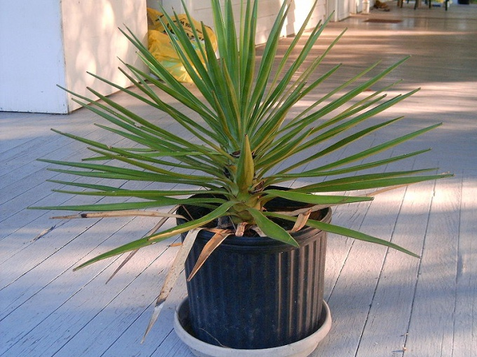 How to save Yucca