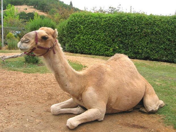 Верблюд  настоящий помощник  человека, поэтому его имя должно быть красивое и содержательное.