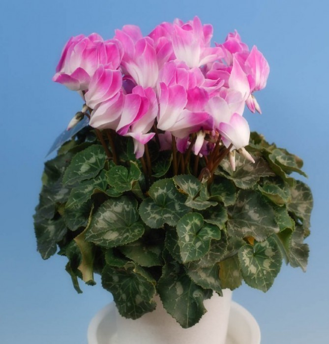 How to transplant a cyclamen