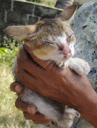 как вытащить клеща у кота из уха