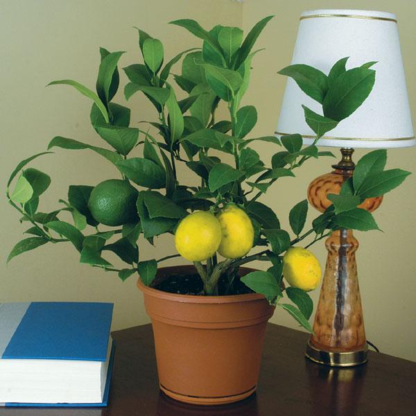How to trim a lemon