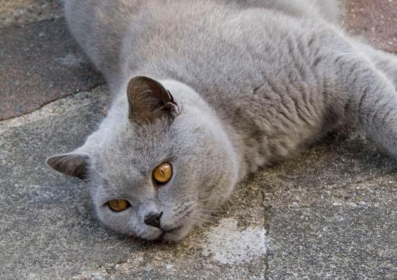 Как кормить британских кошек