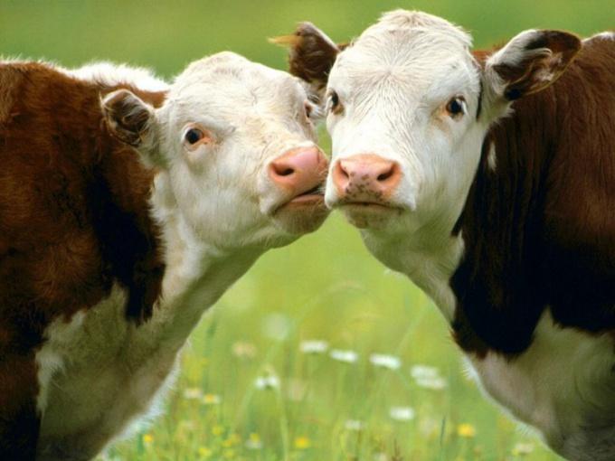 как предпочесть корову