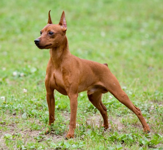 How to name the Pinscher