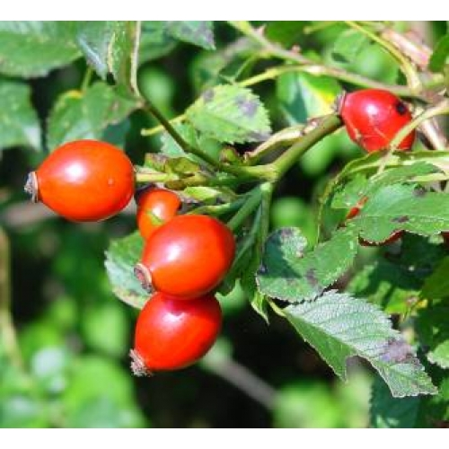How to make a decoction of rose hips