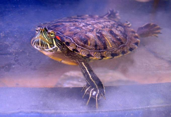 как ухаживать и чем кормить земноводную каспийскую черепаху