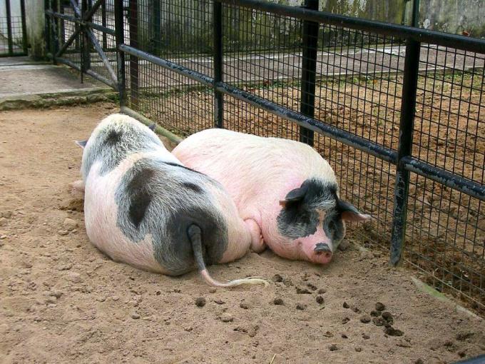 Как содержать свиней