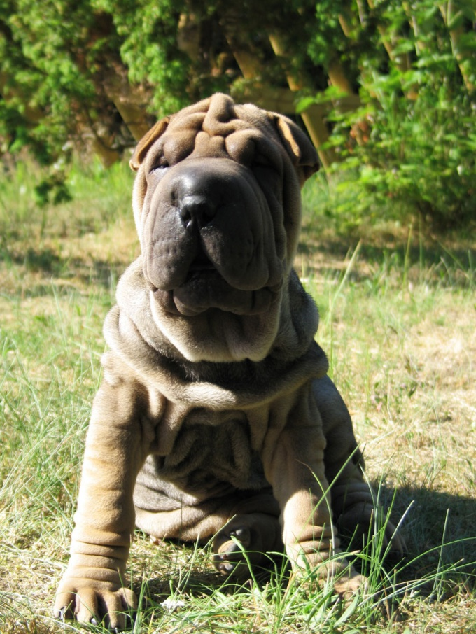 How to feed a Shar Pei puppy