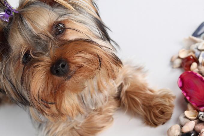 кормление щенка йорка в 4 месяца