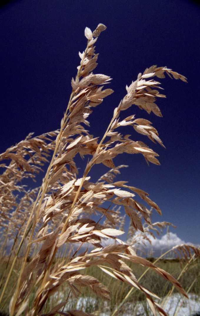 How to grow oats