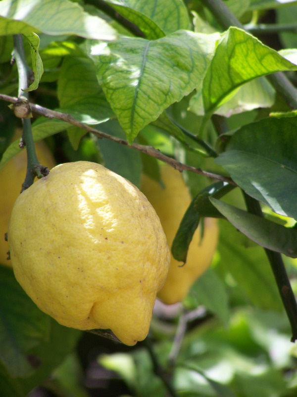 How to transplant a lemon
