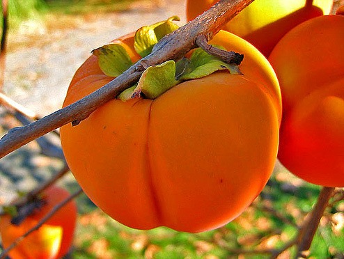 How to plant persimmon