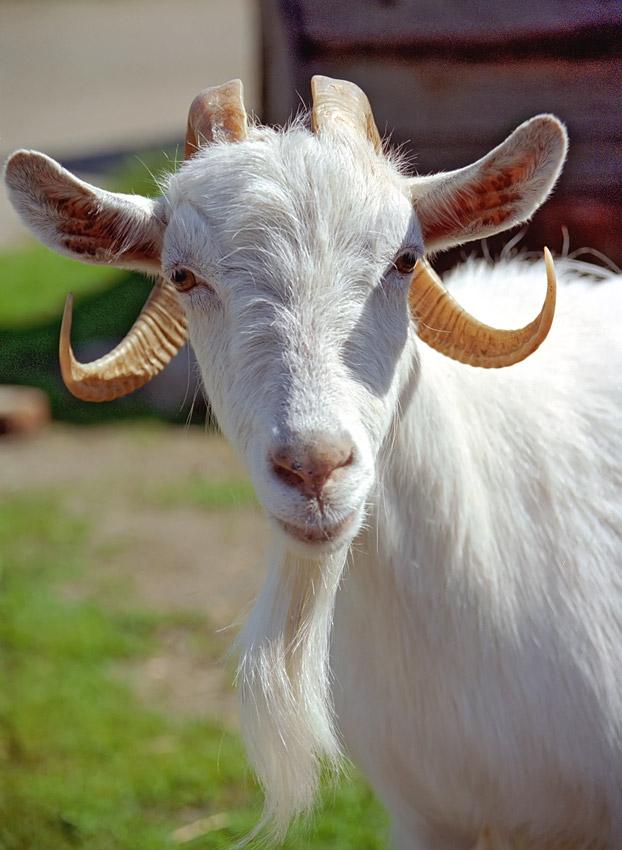 как перевезти несколько коз