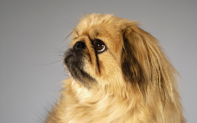 How to call the dog a Pekingese